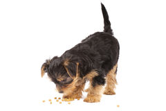 Perrito del terrier de Yorkshire Fotos de archivo libres de regalías