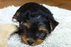 Perrito del terrier de Yorkshire imágenes de archivo libres de regalías