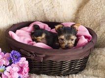 Perrito del terrier de Yorkshire en cesta Imágenes de archivo libres de regalías