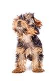 Perrito del terrier de Yorkshire que parece para arriba aislado Foto de archivo libre de regalías