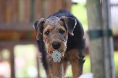 Perrito del terrier del Airedale fotos de archivo libres de regalías