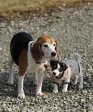 Perrito del terrier del beagle y de Gato Russell. imagenes de archivo