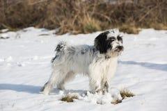 Perrito del terrier tibetano que se coloca en la nieve fotografía de archivo libre de regalías