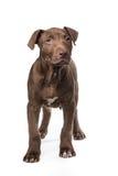 Perrito derecho de mirada lindo del pitbull Imagen de archivo