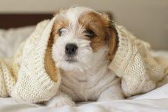 Perrito divertido cubierto con el suéter hecho punto caliente Foto de archivo