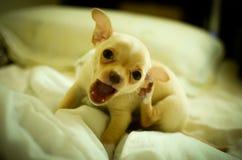Perrito divertido de la chihuahua en casa Fotos de archivo libres de regalías
