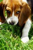 Perrito divertido del beagle en parque Foto de archivo libre de regalías