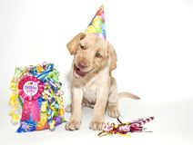 Perrito divertido del laboratorio del cumpleaños Foto de archivo
