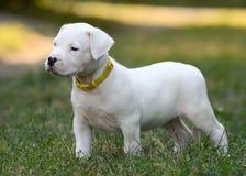 Perrito Dogo Argentino que se coloca en hierba Front View imagen de archivo libre de regalías
