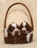 Perrito dos del perro marrón de cocker spaniel del inglés imágenes de archivo libres de regalías