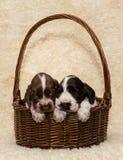 Perrito dos del perro marrón de cocker spaniel del inglés imagen de archivo libre de regalías