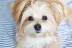 Perrito dulce de Morkie que mira directamente la cámara fotografía de archivo