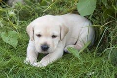Perrito dulce joven de Labrador imagen de archivo