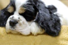 Perrito el dormir Foto de archivo libre de regalías