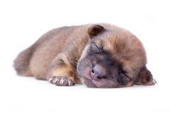 Perrito el dormir Imagen de archivo libre de regalías
