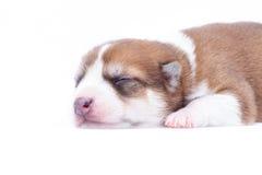 Perrito el dormir Fotos de archivo libres de regalías