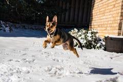 Perrito emocionado del perro que salta y que juega en la nieve Fotos de archivo libres de regalías