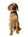 Perrito en blanco Fotos de archivo libres de regalías