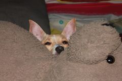 Perrito en cama con un peluche Foto de archivo