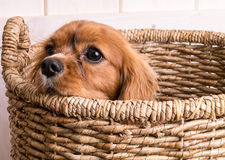 Perrito en cesta de lavadero Foto de archivo libre de regalías