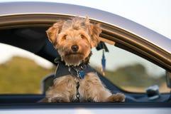 Perrito en coche Fotografía de archivo libre de regalías