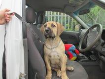 Perrito en coche Foto de archivo libre de regalías