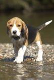 Perrito en el río Imagen de archivo