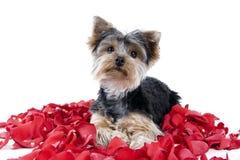 Perrito en pétalos color de rosa Fotos de archivo libres de regalías