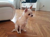 Perrito en sala de estar Fotografía de archivo
