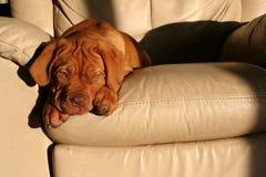 Perrito en silla Fotografía de archivo