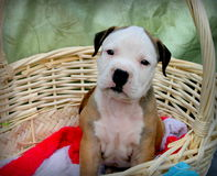Perrito en una cesta Imagen de archivo libre de regalías