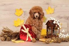 Perrito enano del caniche en el fondo de las hojas de otoño Foto de archivo