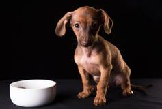 Perrito enano del perro basset en un fondo negro imagen de archivo