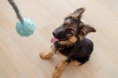 Perrito feliz del pastor alemán que se sienta mirando un juguete fotografía de archivo libre de regalías