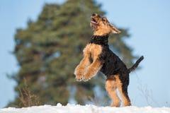 Perrito feliz del terrier del airedale al aire libre en invierno fotografía de archivo