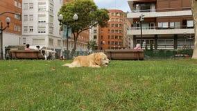 Perrito feliz que descansa sobre hierba verde en el palillo penetrante del parque y la gente de observación almacen de metraje de vídeo
