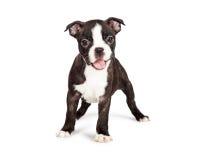 Perrito feliz y sonriente de Boston Terrier imagenes de archivo