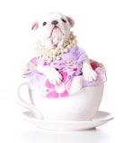 Perrito femenino imagen de archivo libre de regalías