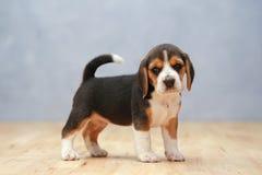 Perrito femenino fuerte del beagle en la acción Fotos de archivo libres de regalías