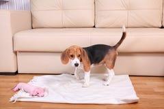 Perrito femenino viejo cuatrimestral del beagle Imágenes de archivo libres de regalías