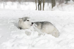 Perrito fornido blanco que miente en la nieve el perrito tiene miedo Imagenes de archivo