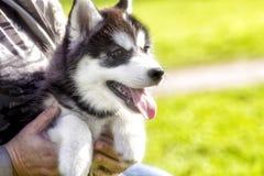 Perrito fornido con su lengua que cuelga hacia fuera la mirada primer Foto de archivo libre de regalías