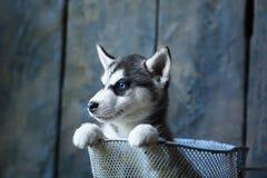 Perrito fornido de ojos azules Imagen de archivo
