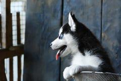 Perrito fornido de ojos azules con su lengua que cuelga hacia fuera Fotografía de archivo libre de regalías