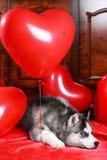 Perrito fornido del día del ` s de la tarjeta del día de San Valentín en un fondo de la textura Foto de archivo
