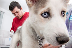 Perrito fornido en el veterinario fotografía de archivo libre de regalías