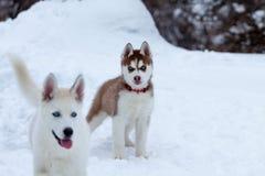 Perrito fornido en la nieve Imagen de archivo libre de regalías