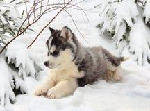 Perrito fornido en un bosque del invierno Fotos de archivo libres de regalías