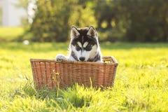 Perrito fornido en una cesta Fotografía de archivo libre de regalías