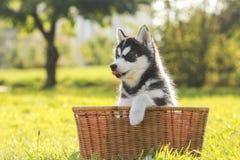 Perrito fornido en una cesta Foto de archivo libre de regalías